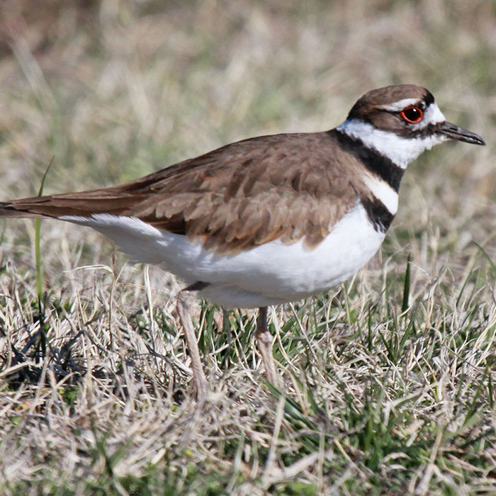wetlands-killdeer