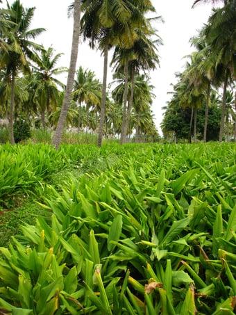 Turmeric farm Longvida Optimized Curcumin